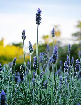 Manfaat dan cara penggunaan bunga lavender untuk kesehatan
