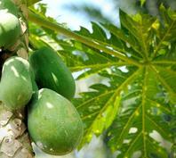 Kandungan nutrisi serta khasiat manfaat pepaya bagi kesehatan