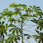 Manfaat daun singkong