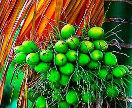 manfaat buah pinang