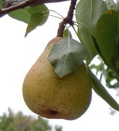 Manfaat buah pir bagi kesehatan dan kecantikan