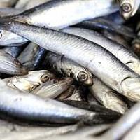 Ikan yang baik bagi ibu hamil