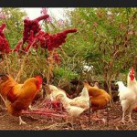Keunggulan ayam kampung organik