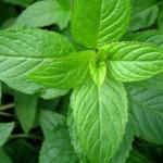 khasiat tanaman peppermint