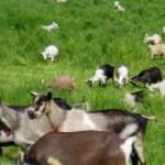 Manfaat susu kambing bagi kesehatan