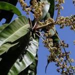 Manfaat Khasiat daun mangga