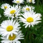 bunga daisy - bunga berkhasiat obat herbal
