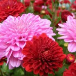 bunga krisan atau seruni berkhasiat obat