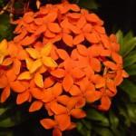 bunga soka berkhasiat obat