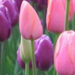 bunga tulip berkhasiat obat