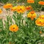 bunga caledula untuk menyembuhkan luka