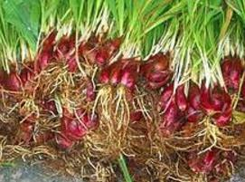 khasiat bawang dayak