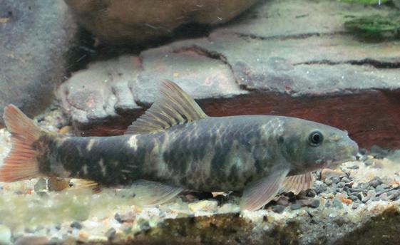 Garra Rufa jenis Ikan untuk terapi