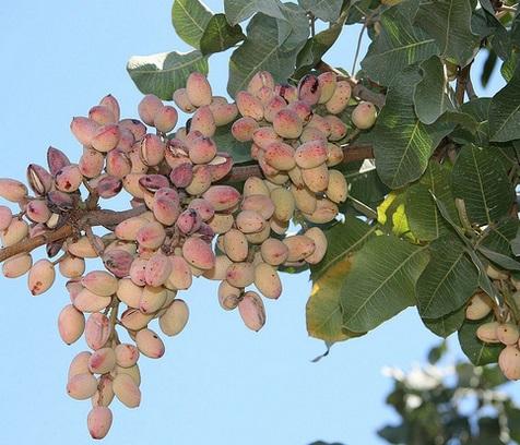 pohon pistachio berbuah