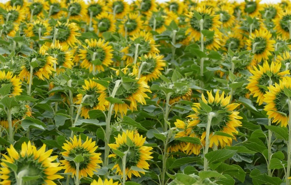 tanaman bunga matahari